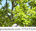 young leafe, spring, blue sky 77337324