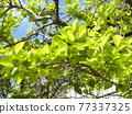 young leafe, spring, blue sky 77337325