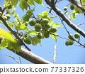 ume, fruit, spring 77337326