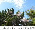 cherry blossom, double-flowered cherry tree, spring 77337329