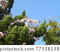 double-flowered cherry tree, cherry blossom, spring 77338138
