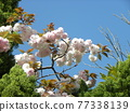 double-flowered cherry tree, cherry blossom, spring 77338139