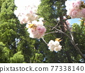 double-flowered cherry tree, cherry blossom, spring 77338140