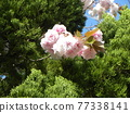 double-flowered cherry tree, cherry blossom, spring 77338141