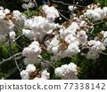 double-flowered cherry tree, sakura, spring 77338142
