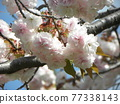 double-flowered cherry tree, cherry blossom, spring 77338143