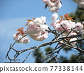 double-flowered cherry tree, cherry blossom, spring 77338144