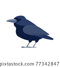 Crow raven bird. Black bird Cartoon flat style beautiful character of ornithology, vector illustration isolated on white background 77342847