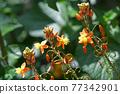꽃 알로에 (부루비네) 77342901