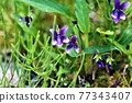野草 野花 紫羅蘭 77343407