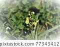 野草 雜草 花朵 77343412