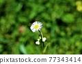 野草 雜草 花朵 77343414
