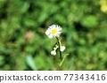 野草 雜草 花朵 77343416