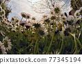 Annual Daisies (Bellis Annua) In A Meadow 77345194