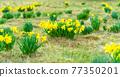 Wild yellow Narcissus on the mountain meadow. Jizerrka village, Jizera Mounains, Czech Republic 77350201