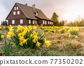 Wild yellow Narcissus on the mountain meadow 77350202