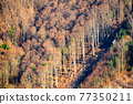 Beech tree forest in steep hill 77350211