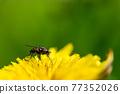 flower, flowers, dandelion 77352026