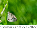 nymphalidae, brush-footed butterflies, four-footed butterflies 77352027