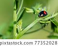 ladybug, beetle, bug 77352028