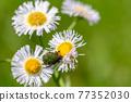 Core hanamuguri eating pollen of Haldion 77352030