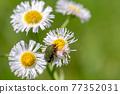 Core hanamuguri eating pollen of Haldion 77352031