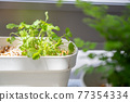 gapao rice, foliage plant, botanic 77354334
