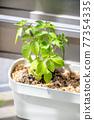 gapao rice, foliage plant, botanic 77354335