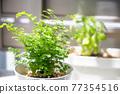 basil, foliage plant, botanic 77354516