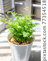 basil, foliage plant, botanic 77354518