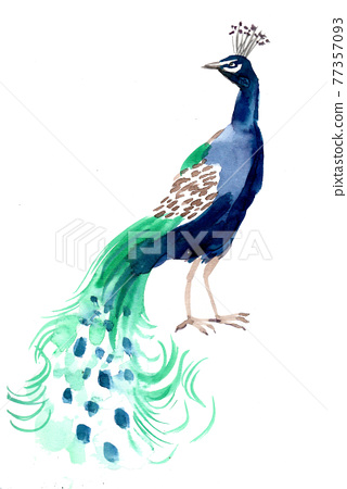 Tropical, peacock bird. Ink and watercolor drawing 77357093
