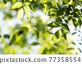 spring, foliage, leaf 77358554