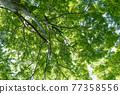 wood, foliage, leaf 77358556