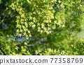 foliage, leaf, leafs 77358769