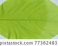 柿子樹 葉子 樹葉 77362483