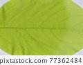 柿子樹 葉子 樹葉 77362484