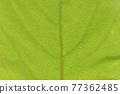 柿子樹 葉子 樹葉 77362485