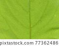 柿子樹 葉子 樹葉 77362486
