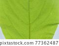 柿子樹 葉子 樹葉 77362487