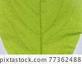 柿子樹 葉子 樹葉 77362488