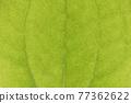菝葜 葉子 樹葉 77362622