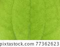 菝葜 葉子 樹葉 77362623
