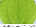 菝葜 葉子 樹葉 77362624