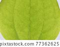 菝葜 葉子 樹葉 77362625