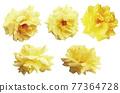 玫瑰 玫瑰花 花朵 77364728