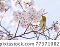 櫻花和日本白眼盛開著美麗的粉紅色花瓣 77371982