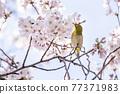 櫻花和日本白眼盛開著美麗的粉紅色花瓣 77371983