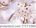 櫻花盛開,美麗的粉紅色花瓣 77371986
