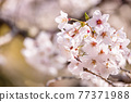 櫻花盛開,美麗的粉紅色花瓣 77371988