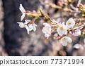 櫻花盛開,美麗的粉紅色花瓣 77371994